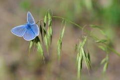 Blauer Schmetterling auf einem Grashalm Stockfoto