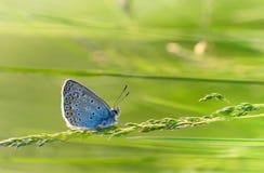 Blauer Schmetterling auf einem Thread des Grases lizenzfreie stockfotos