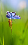 Blauer Schmetterling auf Gras Lizenzfreies Stockbild