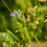 Blauer Schmetterling in der Wiese Stockfotografie