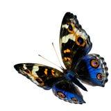 Blauer Schmetterling des exotischen Fliegens, der blaue Stiefmütterchenschmetterling lokalisiert lizenzfreies stockbild