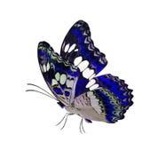 Blauer Schmetterling des schönen Fliegens, gemeiner Kommandant (moduza procris) mit den ausgedehnten Flügeln im fantastischen Far lizenzfreie stockfotografie