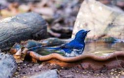 Blauer Schnäpper Hainans (Cyornisconcreta) stockfoto