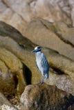 Blauer Seevogel auf Felsen Lizenzfreies Stockbild