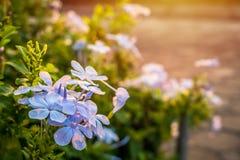 Blauer Sonnenaufgang der Bleiwurz morgens Lizenzfreies Stockfoto