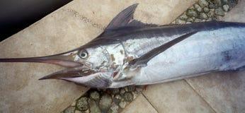 Blauer Speerfisch auf dem Dock Stockfoto