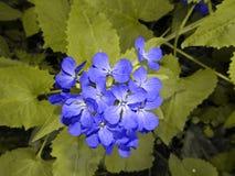 Blauer Stern - Blume Lizenzfreie Stockfotos