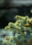 Blauer Tannenbaum des Zweigs lizenzfreies stockbild