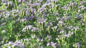 Blauer Tansy oder Spitzen- Phacelia-tanacetifolia bewirtschafteten die Ernten, die als Futter, grünes Düngemittel und Honigbienen stock video footage