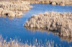 Blauer Teich umgeben durch trockene Schilfe im Winter Stockbild