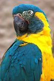Blauer throated Macaw stockfotos