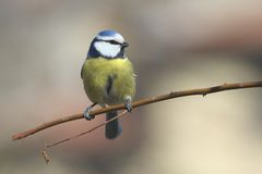 Blauer Tit Stockfotos