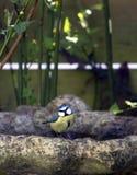 Blauer Tit auf Vogelbad Lizenzfreie Stockfotografie