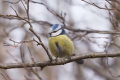 Blauer Tit, der auf einem Zweig sitzt lizenzfreie stockbilder