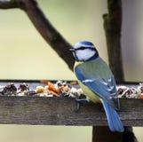 Blauer Tit in der Vogeltabelle stockfoto