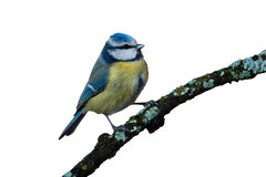 Blauer Tit getrennt lizenzfreies stockfoto