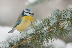 Blauer Tit im Winter stockfotos