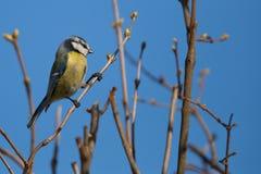 Blauer Tit (Parus caeruleus) Lizenzfreie Stockfotos
