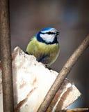 Blauer Tit, Parus caeruleus Lizenzfreie Stockfotografie