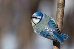 Blauer Tit, Parus caeruleus Lizenzfreies Stockbild