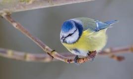 Blauer Titmouse Stockbild