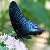 Blauer tropischer Schmetterling Stockbilder