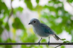 Blauer tropischer Vogel Azurblau-geschulterter Tanager Tangara-cyanoptera blauer Vogel gegen grünen Blatthintergrund Tanagerblau stockfotografie
