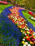 Blauer und bunter Blumenteppich in Keukenhof Stockfoto
