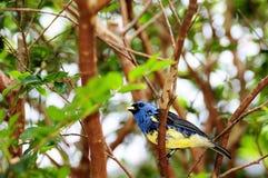 Blauer und gelber Fink-Vogel Stockfoto