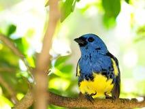 Blauer und gelber Fink-Vogel Lizenzfreie Stockfotografie