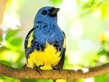 Blauer und gelber Finkvogel, der oben schaut Lizenzfreie Stockfotografie