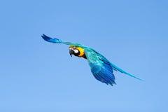 Blauer und gelber Keilschwanzsittich im Flug Stockbilder