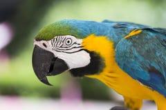 Blauer und gelber Keilschwanzsittich-Papagei - Aronstäbe ararauna Lizenzfreies Stockbild