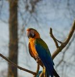 Blauer und gelber Keilschwanzsittich-Papagei, der auf einem brance sitzt Stockfotos