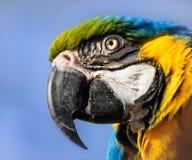 Blauer und gelber Keilschwanzsittich-Papageienabschluß herauf Porträt Stockbild