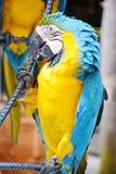 Blauer und gelber Keilschwanzsittichvogel Stockfoto