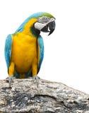 Blauer und gelber Keilschwanzsittichvogel, der auf Baumastisolatweiß hockt Lizenzfreie Stockfotos