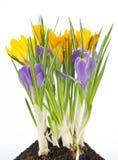 Blauer und gelber Krokus auf weißem Hintergrund Stockbilder