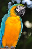 Blauer und gelber Macaw Lizenzfreies Stockbild