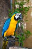 Blauer und gelber Macaw lizenzfreie stockbilder