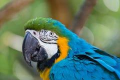 Blauer und gelber Macaw Stockfoto