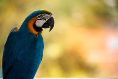 Blauer und gelber Macaw Stockbilder
