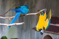 Blauer und gelber Macaw Stockfotos