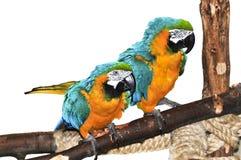 Blauer und gelber Macaw Stockfotografie