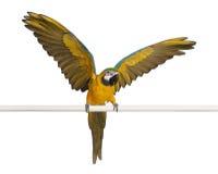 Blauer und gelber Macaw, Ara Ararauna Stockfotos