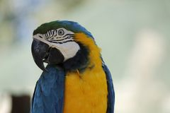 Blauer und gelber Macaw-Papagei Lizenzfreies Stockfoto