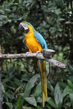 Blauer und gelber Macaw-Papagei Lizenzfreie Stockfotos
