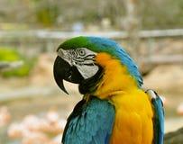 Blauer und gelber Papagei Lizenzfreies Stockfoto