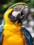 Blauer und gelber Papagei Stockfoto