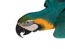 Blauer und gelber Papagei Stockbild